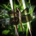 Shimmering Wings by milaniet