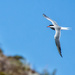 Arctic Tern by pamknowler
