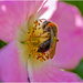 Bee And Wild Rose