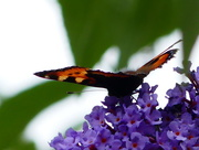 17th Jun 2017 - A Tortoiseshell Butterfly