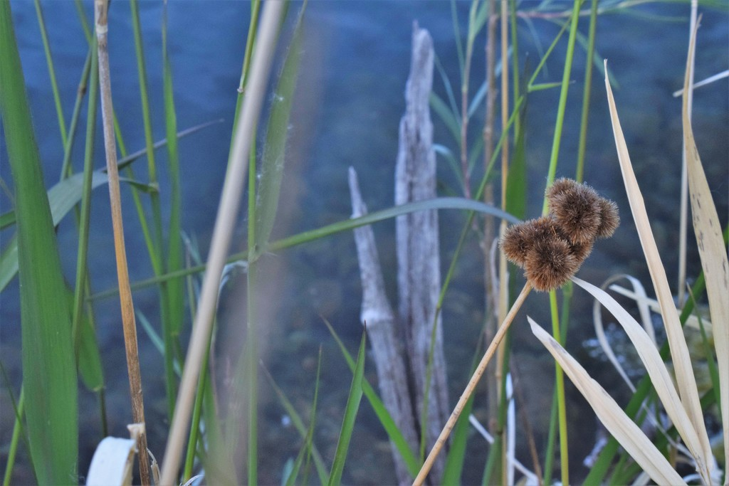 Burrs and reeds by sandlily