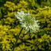 Scabiosa. (Pincushion Flower)