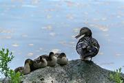16th Jun 2017 - Ducks at the frog pond