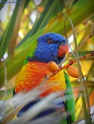 17th Jun 2017 - Rainbow Lorikeet