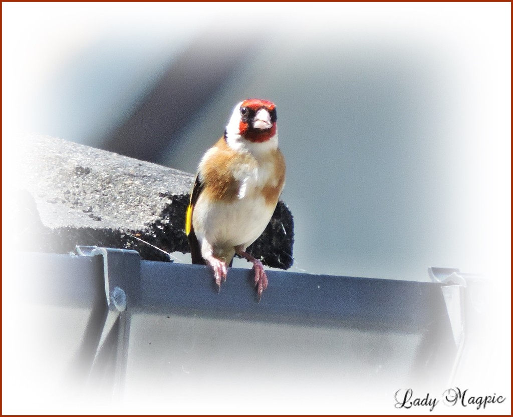 Goldfinch Gutted. by ladymagpie