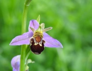 17th Jun 2017 - 30 Days Wild - Day 17 - A bee orchid