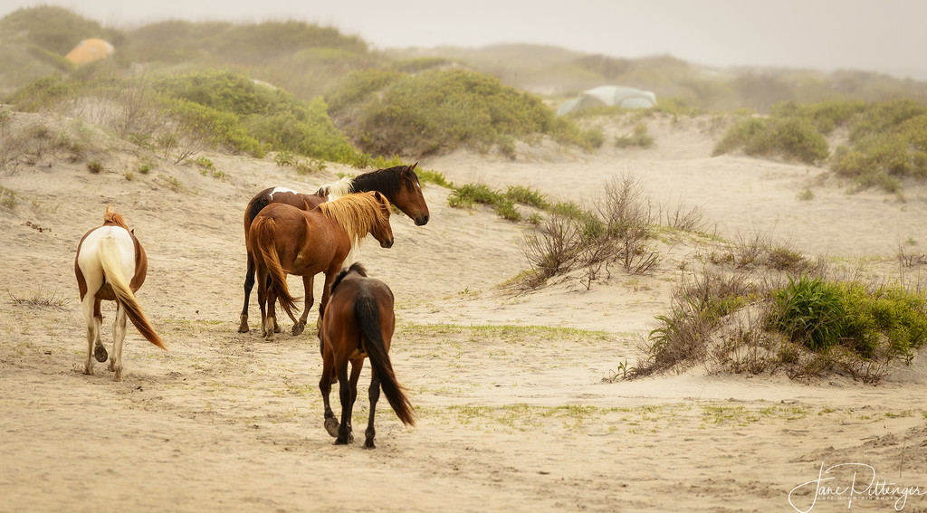 Wild Horses Traveling to the Beach by jgpittenger