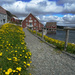 The Provincial Flower of Newfoundland by Weezilou