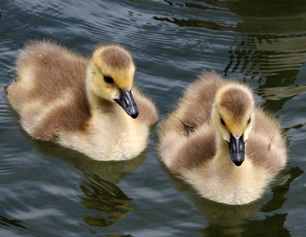 Gosling Cuteness by seattlite