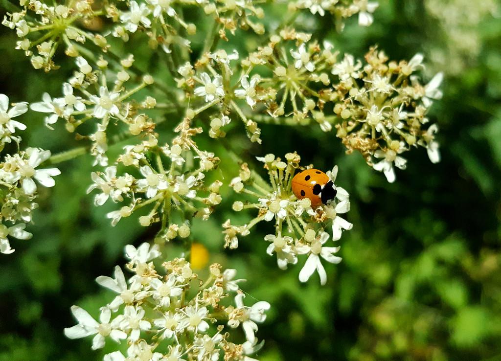 Ladybug by m2016