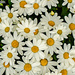 Marguerites by elisasaeter