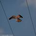 Kestrel hovering