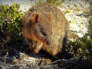 18th Jun 2017 - Quokka