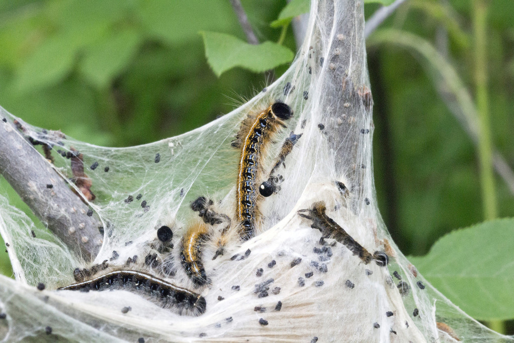 Eastern Tent Caterpillars by gaylewood