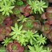Succulents with Sweet Woodruff