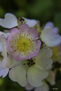 2nd Jun 2017 - Wild Roses
