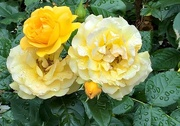 17th Jun 2017 - Yellow Roses on Green Street