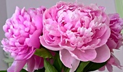 18th Jun 2017 - Peonies from the Farmers Market