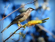19th Jun 2017 - Red Wattle bird
