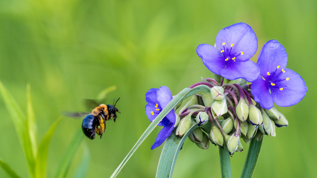 Bee and Spiderwort by rminer