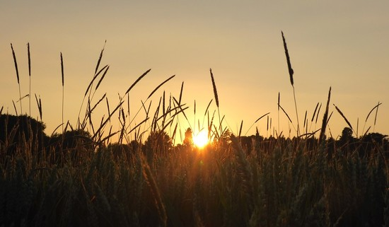 sunset in the wheat field II by helenhall