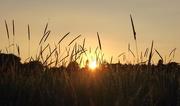 19th Jun 2017 - sunset in the wheat field II