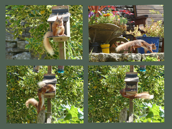 Two little red squirrels  by shirleybankfarm