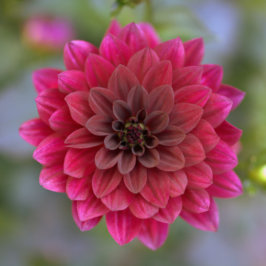 dahlia love by vankrey