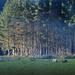 Stand of pine by dkbarnett