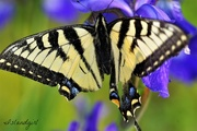 19th Jun 2017 - Swallowtail butterfly and Iris