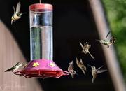 19th Jun 2017 - Fiesty Rufous Hummingbird Babies At the Feeder