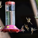 Fiesty Rufous Hummingbird Babies At the Feeder