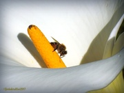 20th Jun 2017 - bee on arum lily