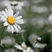 The Daisy! by fayefaye