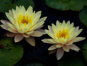 20th Jun 2017 - Nothing More Serene That Water Lilies