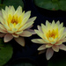 Nothing More Serene That Water Lilies by milaniet
