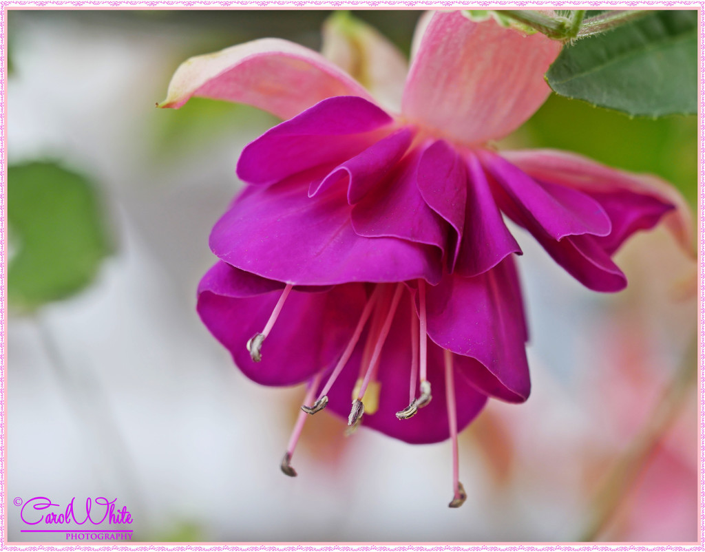 Frilly Fuschia by carolmw