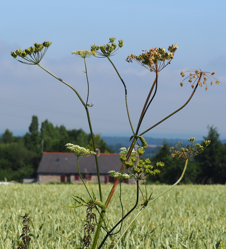 Cow Parsley, a field of wheat... by s4sayer