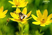 21st Jun 2017 - Bumblebee on yellow flower