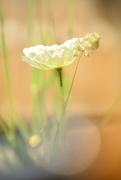 21st Jun 2017 - Sunlit Poppy......