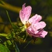 In the Fields: dog rose