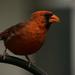 Mr Cardinal Keeping an Eye Out!