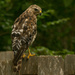 Glad to See Mr Red Shouldered Hawk Back Again!