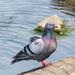 Rock Pigeon Dance