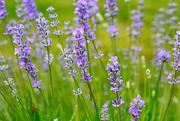21st Jun 2017 - Lavender
