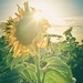 Hazy sunflower days