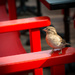 Sparrow on a Seat by dorsethelen