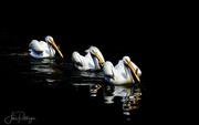 22nd Jun 2017 - Three White Pelicans Swimming In Breeding Plumage copy