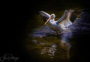 11th Jun 2017 - White Pelican Strutting His Stuff