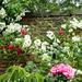 Rambling roses...